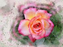 Akwarela malująca piękna menchii róża zdjęcie royalty free