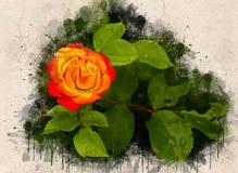 Akwarela malująca piękna pomarańcze róża obrazy royalty free