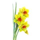Akwarela narcyza żółty bukiet Fotografia Royalty Free