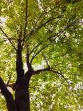 Akwarela obraz kamforowym drzewem zdjęcie stock