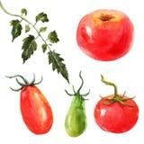 Akwarela pomidoru set ilustracji