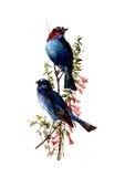 Akwarela ptaki ilustracyjni Obraz Royalty Free