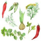 Akwarela rysunek korzenne rośliny i owoc Podprawy i pikantność: Bobek, basil, kolender, rozmaryny, pietruszka, koper, ilustracji