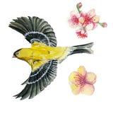 Akwarela rysunek na temacie wiosna, upał, ilustracja ptak rozkaz przyglądający Orioles latanie, z Fotografia Stock