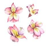 Akwarela ustawiająca menchia kwiaty odizolowywający na białym tle Obraz Royalty Free