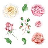 Akwarela ustawiająca róże, gałąź i liście, ilustracji