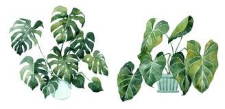 Akwarela wizerunek z tropikalnymi liśćmi i liśćmi salowe rośliny Domowa ro?lina w garnkach greenfield jujitsu projekta elementu k ilustracji