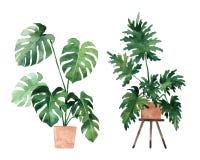 Akwarela wizerunek z tropikalnymi li??mi i li??mi salowe ro?liny Domowa ro?lina w garnkach greenfield jujitsu projekta elementu k ilustracji