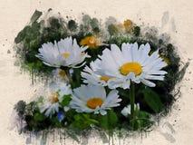 Akwarele malować białe stokrotki obraz stock
