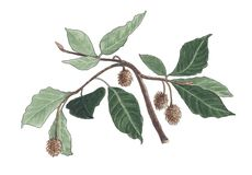Akwareli botaniczna ilustracja buk gałąź ilustracja wektor