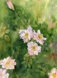 Akwareli brier różowi okwitnięcia royalty ilustracja