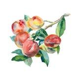 Akwareli brzoskwinie na gałąź Fotografia Stock