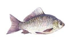 Akwareli Crucian ryba pojedynczy zwierzę odizolowywający Fotografia Royalty Free