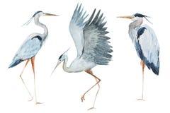 Akwareli czapli ptaki Obrazy Royalty Free