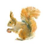 Akwareli czerwona wiewiórka Obraz Stock