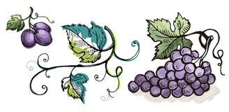 Akwareli dojrzały winogrono z liśćmi odizolowywającymi na bielu Fotografia Royalty Free