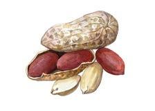 Akwareli dokrętki arachidowy jedzenie Fotografia Stock