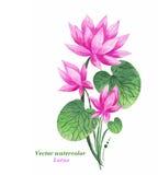 Akwareli ilustraci menchie Lotus wektor szczegółowy rysunek kwiecisty pochodzenie wektora royalty ilustracja
