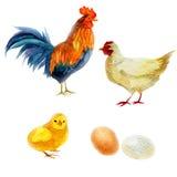 Akwareli ilustracja, kogut, kurczak i kurczak, Nowego Roku symbolu wizerunku element wakacyjne karty, plakaty, zaproszenia Zdjęcia Royalty Free