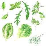 Akwareli ilustracyjne świeże zielenie ustawiają - sałaty, arugula, koperu, basila liścia, rucola, pietruszki i włocha kale, ilustracja wektor