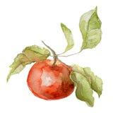 Akwareli jabłko na białym tle Fotografia Royalty Free