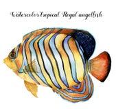 Akwareli Królewski angelfish Wręcza malującej zwrotnik ryba odizolowywającej na białym tle Podwodna zwierzęca ilustracja dla Zdjęcia Stock