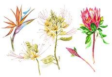 Akwareli Protea, Caesalpinia i Strelitzia, kwitniemy set Tropikalnej dekoraci kwiecista botaniczna ilustracja akwarela royalty ilustracja
