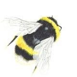 Akwareli pszczoła odizolowywająca na bielu Zdjęcia Stock