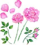 Akwareli róże, liście Set kwieciści elementy tworzyć składy royalty ilustracja