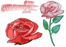 Akwareli róży roślina ilustracja wektor