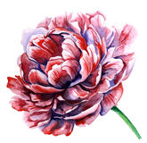 Akwareli różowa peonia Na biel Fotografia Royalty Free