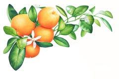 Akwareli ręka rysująca gałąź tangerine z zielonymi liśćmi Obraz Stock