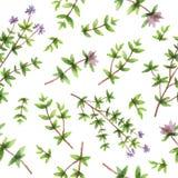 Akwareli wektorowa bezszwowa deseniowa ręka rysująca zielarska macierzanka Fotografia Stock