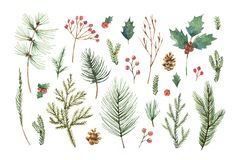 Akwareli wektorowy Bożenarodzeniowy ustawiający z wiecznozielonymi iglastymi gałąź, jagodami i liśćmi, ilustracji