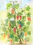 Akwareli winorośl Pociągany ręcznie ilustracja w rocznika stylu ilustracji