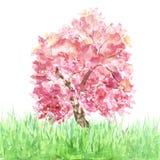 Akwareli wiosny Sakura drzewo na trawie odizolowywającej Różowy czereśniowego drzewa kwitnienie ilustracji