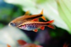 Akwariów wciąż życia scena, kolorowy słodkowodnych ryba makro- widok, płytka głębia pole Zdjęcie Stock