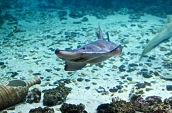 akwarium Argus rybi scatophagus Obrazy Stock