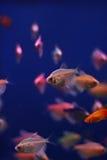 akwarium colisa ryba lalea ciepła woda obraz royalty free