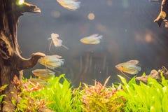 Akwarium colourfull ryba w zmroku zg??biaj? b??kitne wody obraz stock