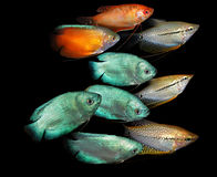 akwarium czarny rysunku ryba linia biel Anabantoidae rodzina Zdjęcie Stock