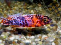 akwarium czarny rysunku ryba linia biel Cichlidae rodzina Zdjęcia Stock