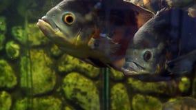 akwarium czarny rysunku ryba linia biel Oscar Astronotus ocellatus zdjęcie wideo
