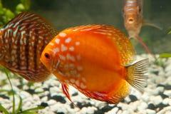 akwarium dyska ryba Obrazy Stock