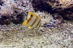 akwarium egzota ryb Fotografia Stock