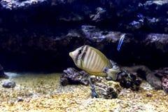 akwarium egzota ryb Zdjęcie Stock