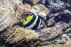 akwarium egzota ryb Obraz Royalty Free
