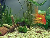 Akwarium miejscowi Fotografia Royalty Free