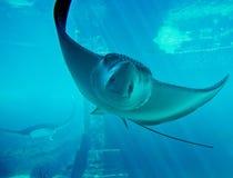 akwarium promienia underwater obrazy royalty free