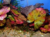 Akwarium roślina fotografia royalty free